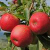 Blätter und Früchte